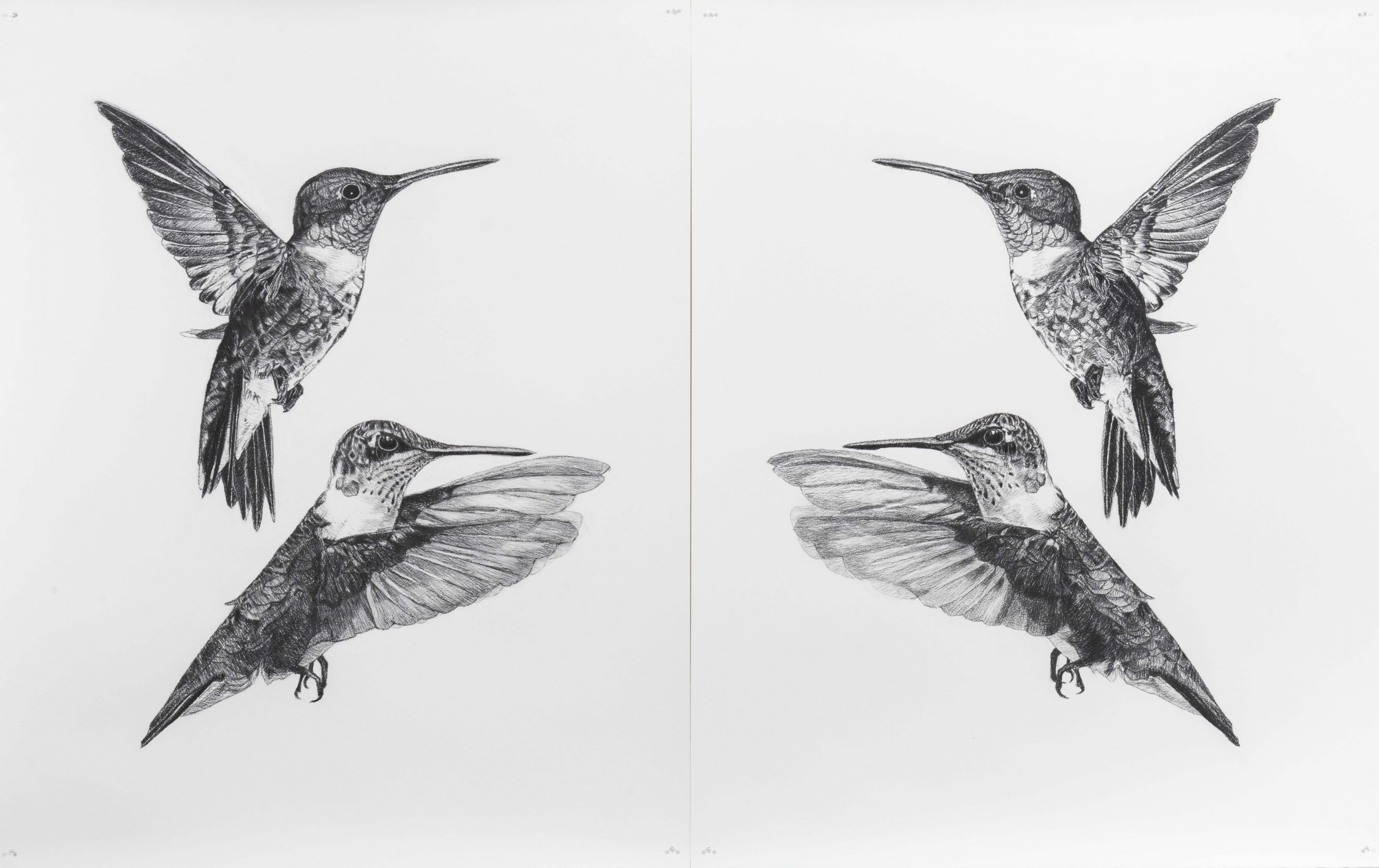 Where Do I End and You Begin (Archilochus colubris) _ carbon on paper _ 2 x drawings 1.53 m H x 1.22 m W each
